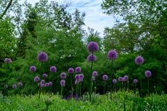 Flores inchados da cebola selvagem em um campo fotografia de stock