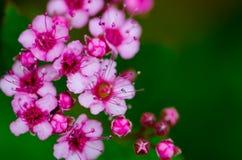 Flores indias del ruibarbo Imagen de archivo libre de regalías