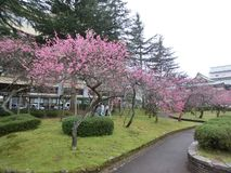 Flores inteiramente florescidas da ameixa Fotos de Stock Royalty Free