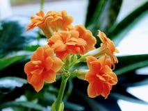 Flores interiores Plantas anaranjadas foto de archivo