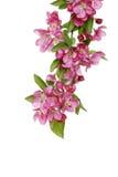 Flores isoladas da árvore de maçã do caranguejo Imagens de Stock Royalty Free