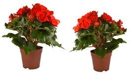 Flores isoladas em uns potenciômetros Fotografia de Stock Royalty Free