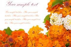 Flores isoladas no branco Fotos de Stock Royalty Free