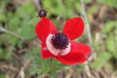 Flores israelíes en la primavera Fotografía de archivo libre de regalías
