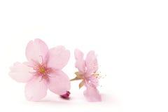 Flores japonesas da flor de cerejeira no branco Fotos de Stock Royalty Free