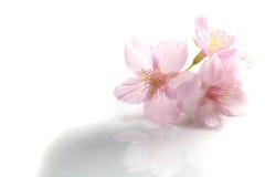 Flores japonesas da flor de cerejeira no #2 branco Imagens de Stock