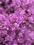 Flores japonesas de la cereza foto de archivo libre de regalías