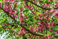 Flores japonesas de la manzana en las ramas en primavera fotografía de archivo libre de regalías