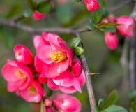 flores japonesas florecientes y hojas verdes claras fotos de archivo