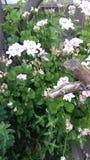 Flores-jeranios lizenzfreies stockbild