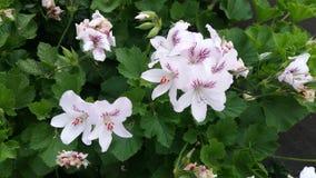 Flores-jeranios Lizenzfreie Stockfotografie