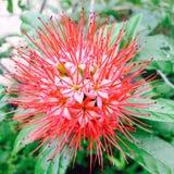 Flores laranja-vermelhos Foto de Stock Royalty Free