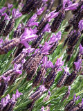 Flores - lavanda Fotos de archivo