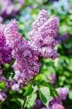 Flores lilás Foto de Stock Royalty Free