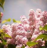 Flores lilás Fotografia de Stock Royalty Free