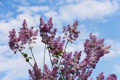 Flores lilás Imagens de Stock