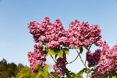 Flores lilás Imagem de Stock Royalty Free