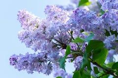 Flores lilás azuis Imagem de Stock