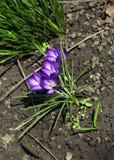 Flores lilás azuis do açafrão Fotografia de Stock Royalty Free