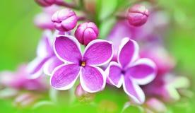 Flores lilás bonitas Imagens de Stock