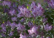Flores lilás bonitas imagem de stock royalty free