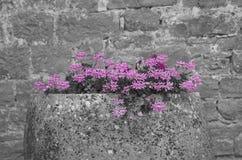 Flores lilás bonitas em um potenciômetro de pedra grande com fundo de pedra fotos de stock royalty free