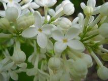 flores lilás brancas muito bonitas imagem de stock
