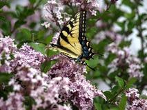 Flores lilás com borboleta Imagem de Stock