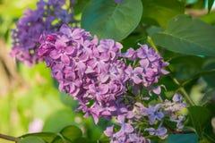 Flores lilás cor-de-rosa, roxas e violetas bonitas nas folhas verdes Imagem de Stock