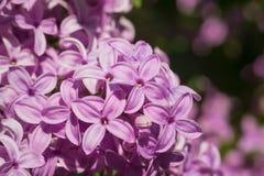 Flores lilás cor-de-rosa, roxas e violetas bonitas nas folhas verdes Imagens de Stock Royalty Free