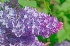 Flores lilás cor-de-rosa, roxas e violetas bonitas nas folhas verdes Fotos de Stock