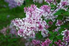 Flores lilás cor-de-rosa, roxas e violetas bonitas nas folhas verdes Imagens de Stock