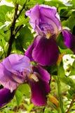 Flores lilás da íris contra o contexto das hortaliças dos arbustos Fotografia de Stock Royalty Free