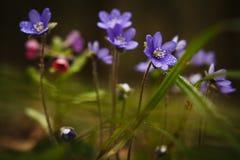 flores lilás da floresta imagens de stock
