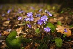 flores lilás da floresta imagens de stock royalty free