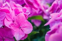 Flores lilás da hortênsia arranjadas junto Fim acima fotografia de stock royalty free