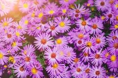 flores lilás do outono Fundo natural bonito imagem de stock