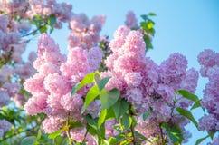 Flores lilás em um fundo das folhas verdes e do céu azul imagens de stock royalty free