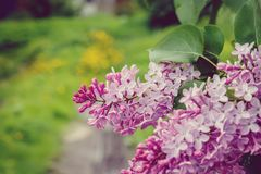 Flores lilás no fim da natureza acima Fotos de Stock Royalty Free