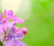Flores lilás roxas da mola no fundo verde Imagem de Stock Royalty Free
