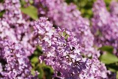 Flores lilás roxas que florescem fora em um dia ensolarado fotos de stock