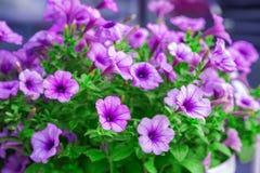 Flores, lila y rosa hermosos Crezca en cama de flor Colores jugosos brillantes, primer imagenes de archivo