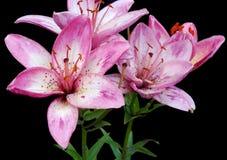 Flores lilly descascadas cor-de-rosa Fotografia de Stock Royalty Free