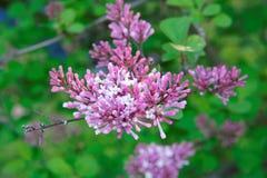 Flores lilás cor-de-rosa, roxas e violetas bonitas nas folhas verdes Imagem de Stock Royalty Free