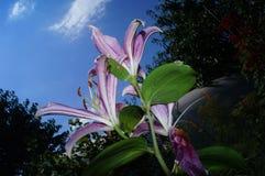 Flores lirios Imágenes de archivo libres de regalías