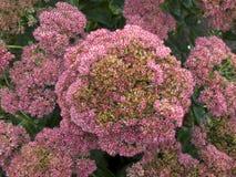 Flores llamativas de la uva de gato en otoño Foto de archivo