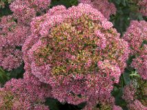 Flores llamativas de la uva de gato en otoño Fotos de archivo