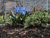 flores Luz-azuis Fotografia de Stock