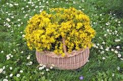 Flores médicas completas da cesta de vime do wort de St Johns Conceito dos plenos verões Fotos de Stock