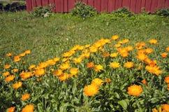 Flores médicas do cravo-de-defunto do calendula no jardim da exploração agrícola Foto de Stock Royalty Free